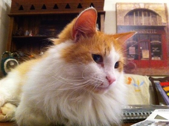 Bam-Bam beautiful ginger and white cat