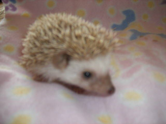 Baby Hedgehogs For Sale | Baby Hedgehogs FOR SALE ADOPTION from Oshawa Ontario Toronto @ Adpost ...