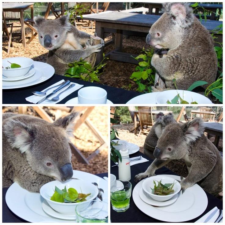 Breakfast in AustraliaSydney Koalas, Koalas Australia, Australia Dreams, Hungry Koalas, Australia Koalafan, Beautiful Australia, Koalas Dining, Amazing Animal, Koalas Bears