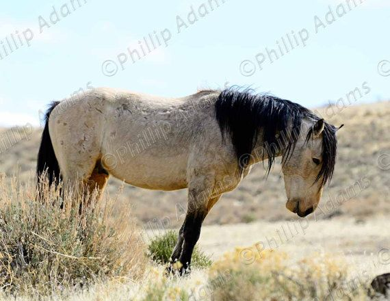 buckskin mustang stallion 85 x 11 by nevadawilds nevadawilds wildhorses