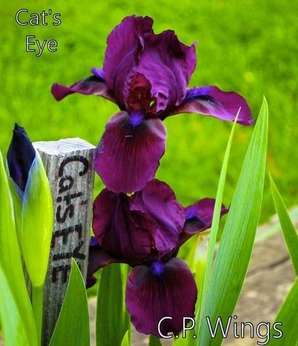 Cats Eye Standard Dwarf Bearded Iris Early Bloom not Cats Eye Sale 2 for 1 | eBay