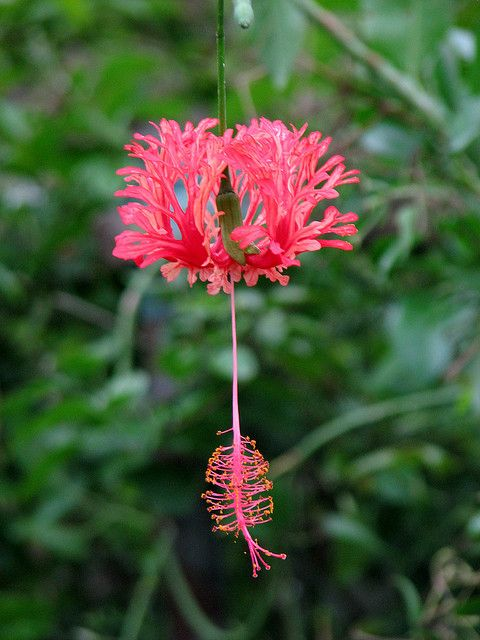 The Garden Geeks Plant of the Day: Coral Hibiscus (Hibiscus schizopetalus) Shrub Zone 9-14