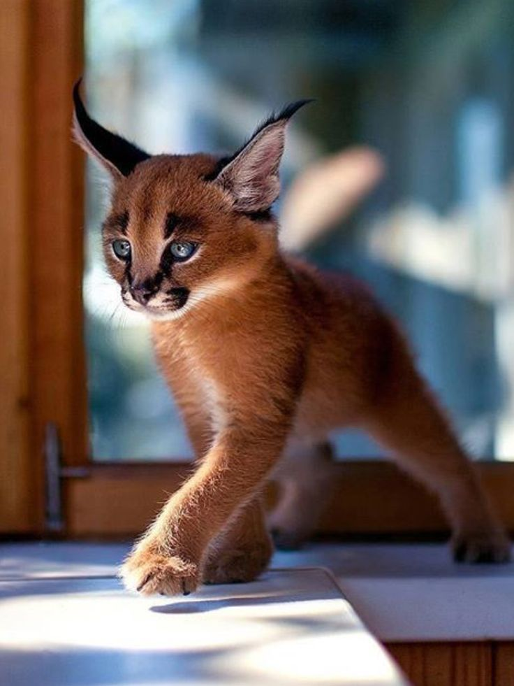 Caracal for a pet...kitty