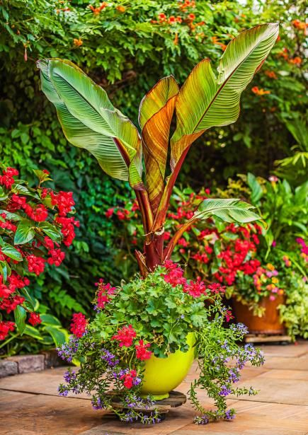 A tropical look for Midwest container gardens. Details: http://www.midwestliving.com/garden/featured-gardens/container-gardens-with-pizzazz/