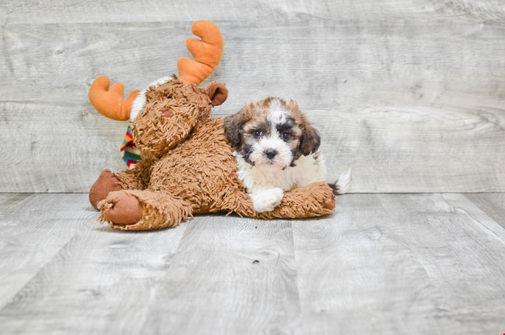 Teddy Bear Puppies for Sale – Shichon Puppies | Premierpups.com