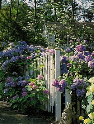 lovely hydrangeas and picket fence