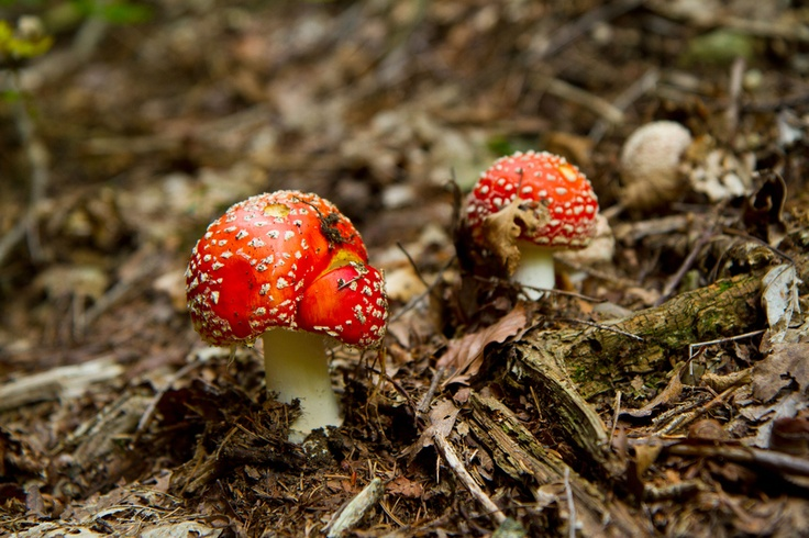 Amanita muscaria, commonly known as the fly agaric or fly Amanita, is a poisonous and psychoactive basidiomycete fungus, one of many in the genus Amanita.