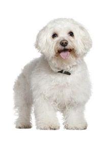 Razas de perros y Gatos | Bichon Frisé | Mascotas Ya!