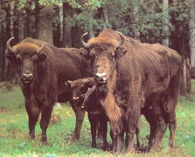 The last wisents (European bison) living in the wild in the forest of Bialowieza were killed by hungry soldiers during the Russian Revolution and World War 1.