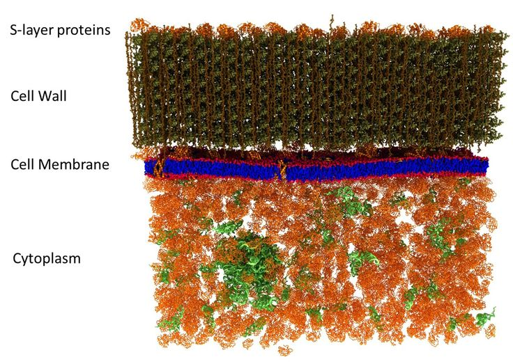 Researchers have completed the world's first scan of a living cell membrane down to a nanoscale level, revealing details that could finally resolve a longstanding debate on how they function.  The technique used to create this incredible image could fundamentally change how nanoscale structures are studied in living things.  The research was carried out by a team of scientists from Oak Ridge National Laboratory in Tennessee, who used a mix of genetic and chemical labelling techniques to add…
