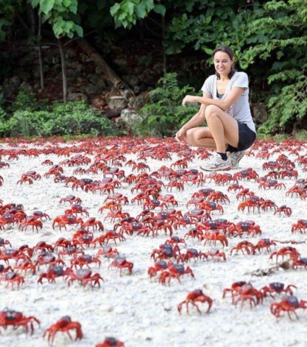 Les crabes rouges de l'île de Noël