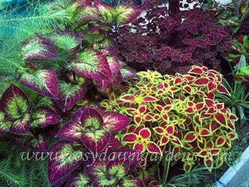 Galería de clientes: Planta del coleo en línea Catálogo | Rosy Dawn Jardines, coleo | Especialistas en crecimiento