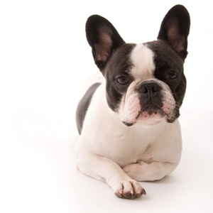 Chica, the French Bulldog