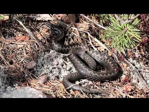 Lämmitellään yhdessä (käärme + hynteiset, hämähäkit, luteet) (video 1:22).