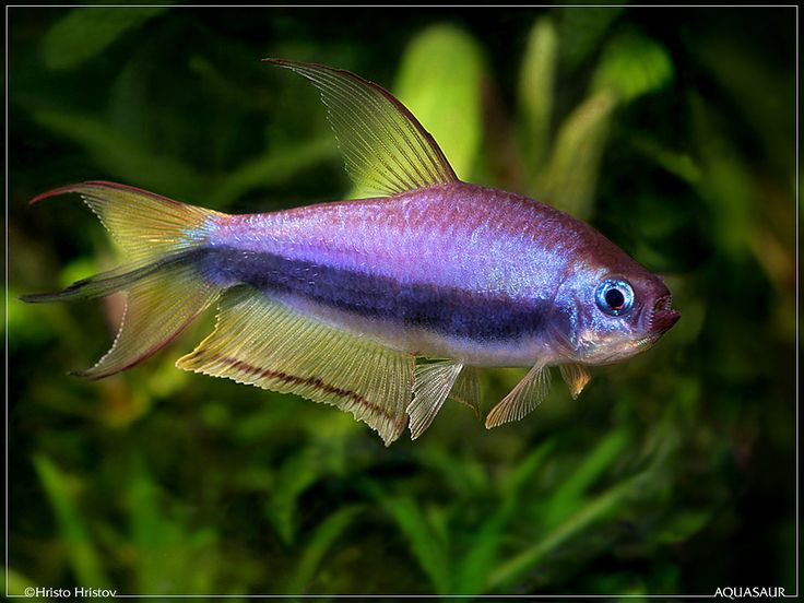 Best 25 tetra fish ideas on pinterest for Tetra fish tank
