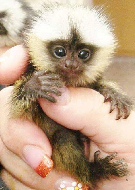 [So I Googled 'monkey's fingers'... This is a Finger Monkey. Isn't it the cutest of babies?]
