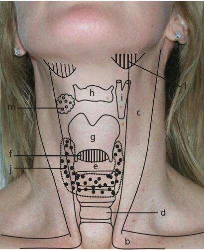 Laringe - Anatomía