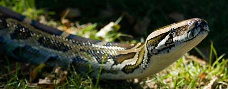 Record-setting python found in Florida... The largest snake of its kind found in the state is pulled from the swamp carrying an amazing 87 eggs...