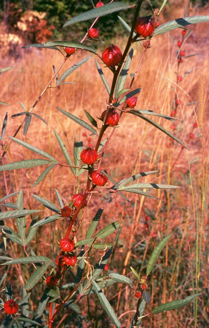 Growing Your Own Hibiscus Sabdariffa Plant