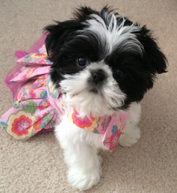 Toy shih tzu Lola in floral