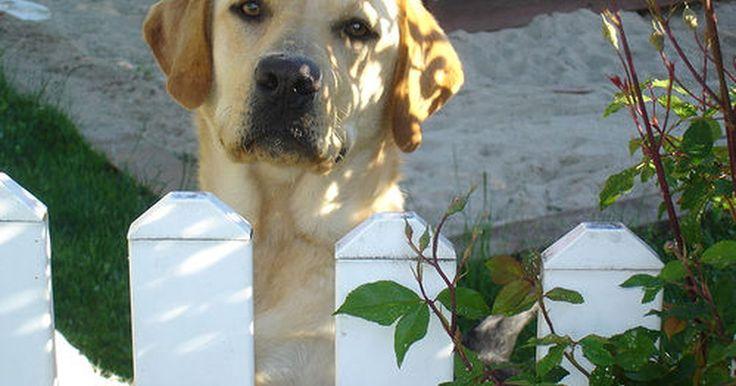 Diagnóstico de manchas vermelhas na pele de um labrador. Manchas vermelhas na pele de um labrador são fáceis de reconhecer, mas normalmente precisam de um diagnóstico veterinário. Os labradores, assim como a maioria de cães com muito pelo, são suscetíveis a irritação da pele causada por reações alérgicas externas e internas.