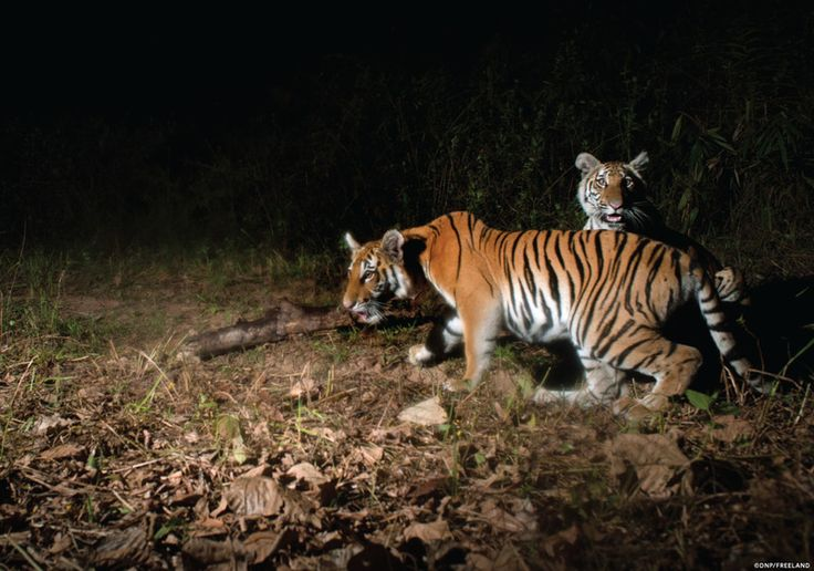 Found: A New Population of Endangered Tigers:Found: A New Population of Endangered Tigers