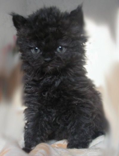 Selkirk Rex kitten…what a cutie