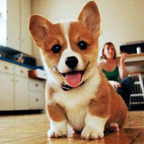 happy corgi puppy too cute pinterest. Black Bedroom Furniture Sets. Home Design Ideas