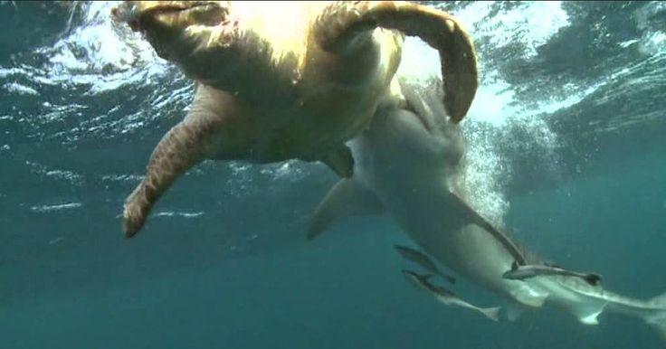 Predator yang satu ini sangat menyukai penyu laut sebagai santapan utamanya. Akan tetapi, hasil penelitian baru-baru ini berhasil mengidentifikasi bahwa penyu laut ternyata tidak begitu peduli tentang ancaman tersebut. Mereka asik saja menjalani hidup setiap hari, berenang kesana kemari.