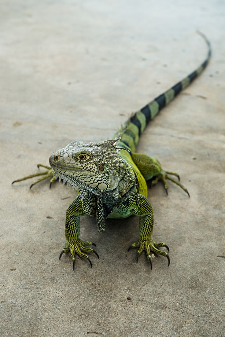 PuertoRico_Iguana