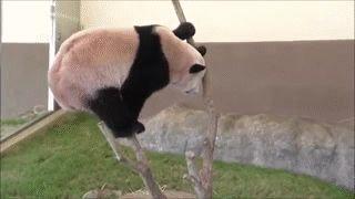 Endangered Panda Information Funny Giff #5591 - Funny Panda Giffs| Funny Giffs| Panda Giffs
