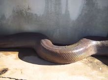 Hold your Laptop Tightly When you Watch This Anaconda (video)