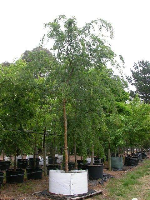 Winter hill tree farm chinese 39 yarralumla 39 elm ulmus for Fast growing drought tolerant trees