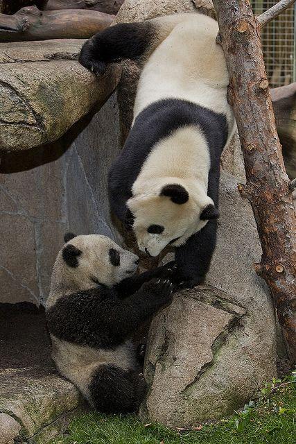 """""""pandaspandas""""... (beatlennon69)"""