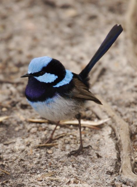 Blue Wren - haven't seen one of these around for some time...come back little wren......