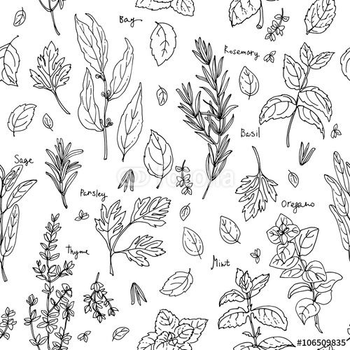Pattern herbs. Spices. Italian herb drawn black lines on a white background. Vector illustration. Basil, Parsley, Rosemary, Sage, Bay, Thyme, Oregano, Mint