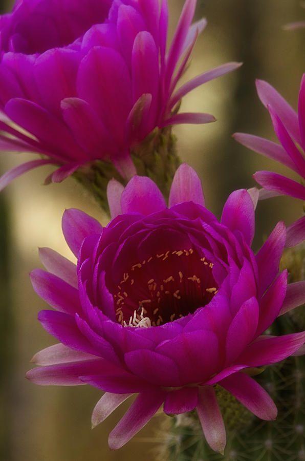 Puce Cactus Flowers