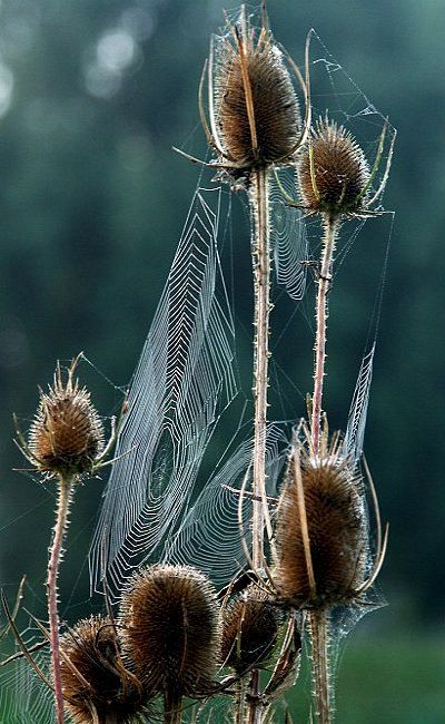 Teasel with spider webs (Paul Marriott Photography)