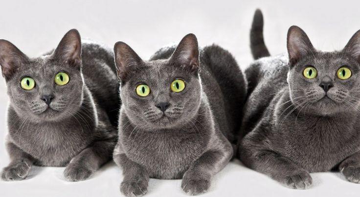 Кошка породы Корат