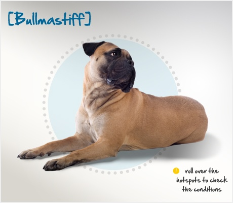Did you know the Bullmastiff originated around 1860 in England, where it was developed to keep large estates free of poachers? Read more about this breed by visiting Petplan pet insurance's Condition Checker! - giant pug! :)