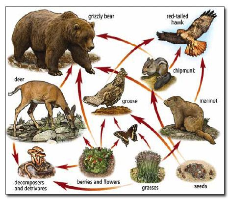 ecosystem and food web Lab 11 food webs and ecosystems: which member of an ecosystem would affect the food web the most if removed introduction an ecosystem includes all the living and nonliving pieces of a particular area of the planet.