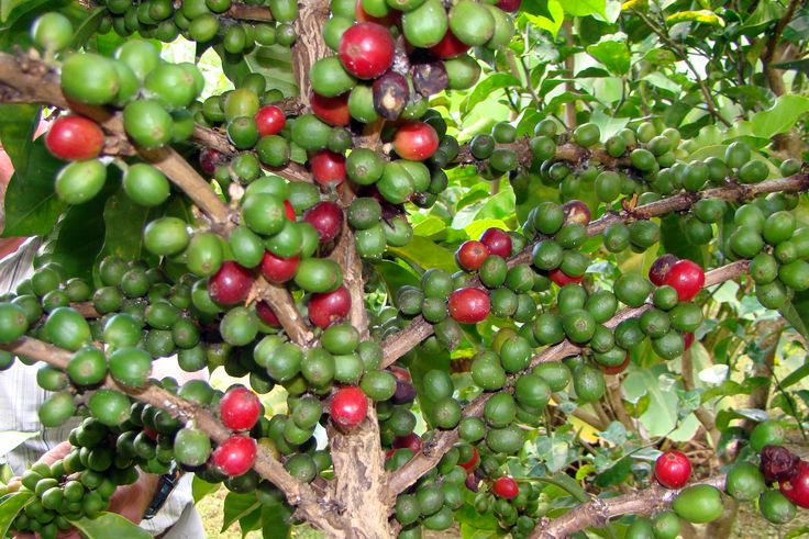 exploring the coffee beans market A drought in brazil has hit its coffee growing the us is the biggest retail coffee market and robusta are the two main types of coffee bean.