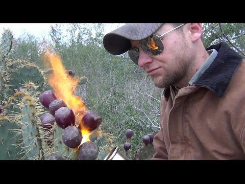 How to Pick and Eat Prickly Pear Cactus : Watch this Video to See How It's Done