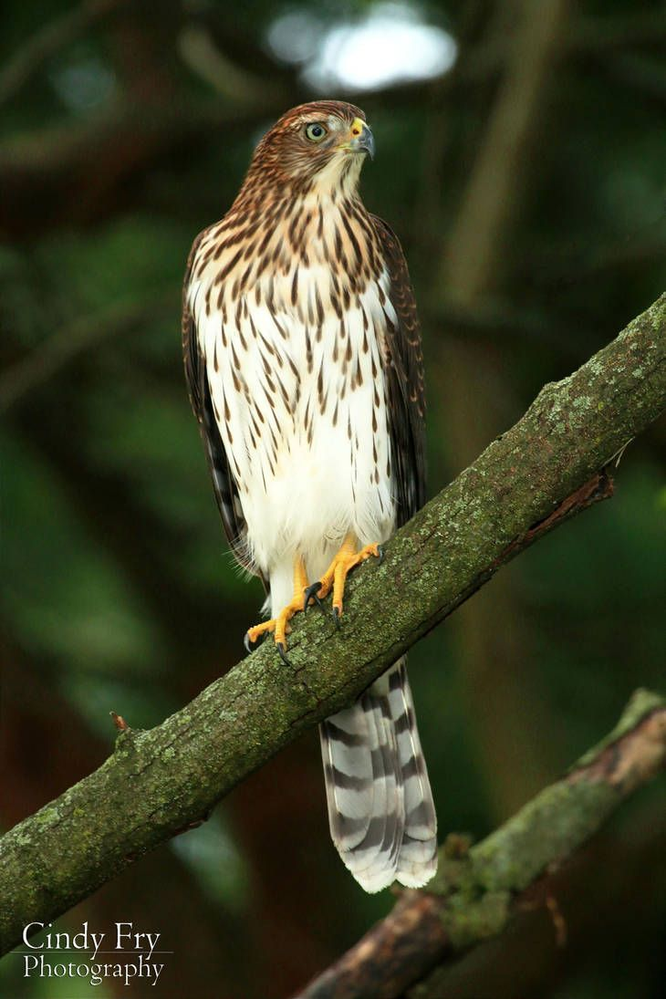 Cooper S Hawk By Lost Nomad07 Cooper S Hawk Red Tailed Hawk Hawk