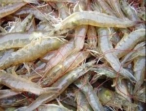 Starting Up A Shrimp Farming Business
