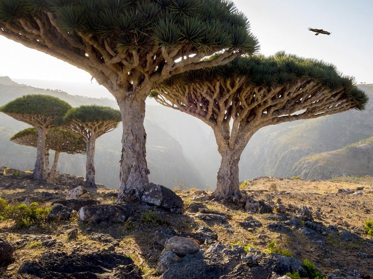 With UFO-like dragon's blood trees as its most notable feature, the island of Socotra looks like it was transported to Earth from a distant planet.