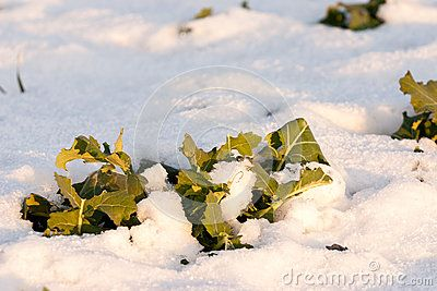 Closeup photo of vegetation emerging from snow