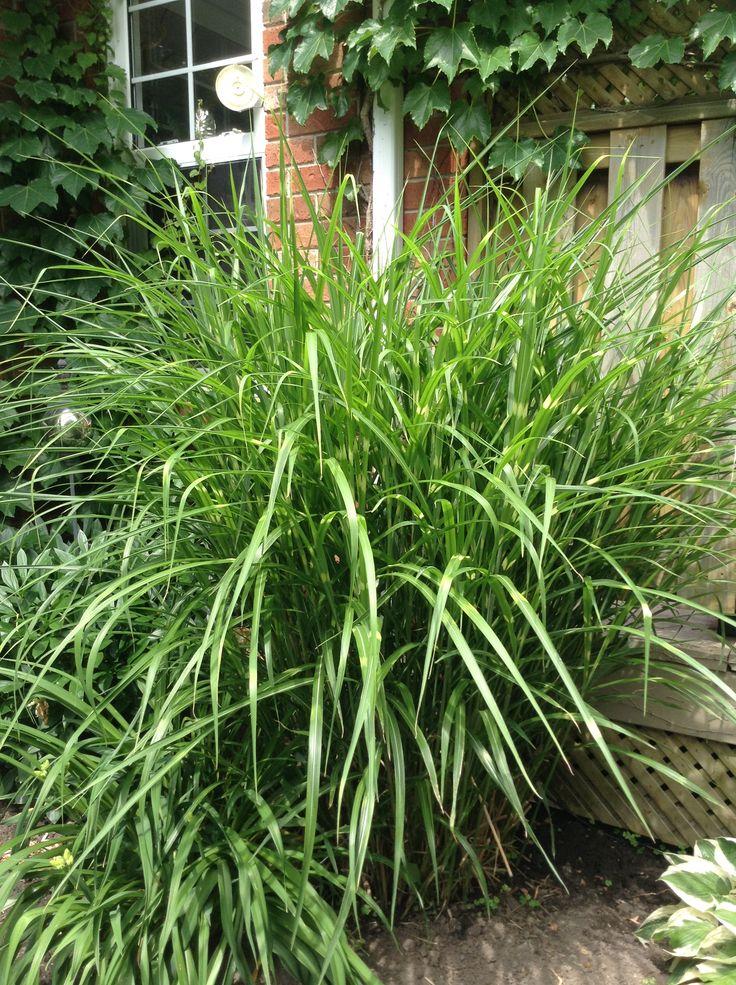 Zebra grass. My garden.