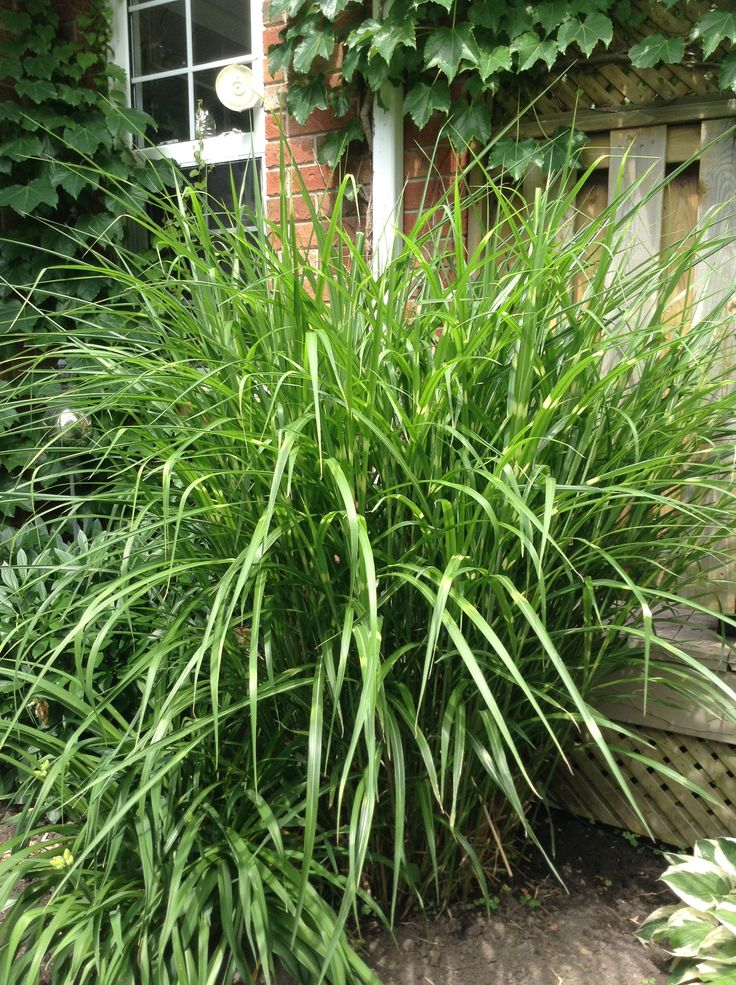 landscaping with zebra grass the image