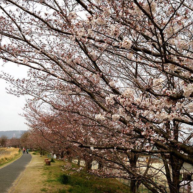 いつものランニングコースでも桜が咲き始めてる。 ・ ・ ・ #ラン #景色 #風景 #走る #桜 #春 #花 #空 #ジョギング #ランニング #マラソン #ガーミン #ランニングウォッチ #ウェアラブル #トレーニング #ダイエット #減量 #Scenery #Landscape #jogging #running #sky #cherryblossom #flower #garmin #runningwatch #run #training #diet